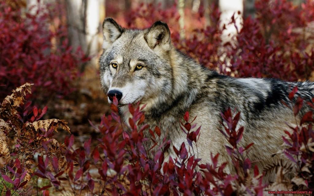 волки свирепые и благородные